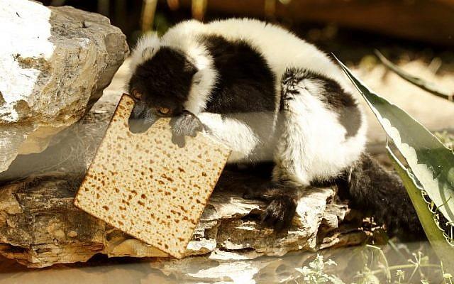 Une photo prise le 27 mars 2018 au parc zoologique de Ramat Gan, près de Tel Aviv, montre un lémurien mangeant de la matsa (pain sans levain) traditionnelle avant la fête juive de Pessah (Crédit : AFP PHOTO / JACK GUEZ)