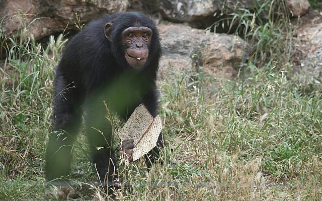Un chimpanzé avec deux tranches de matsa au zoo de Ramat Gan à proximité de Tel Aviv, non-daté (Crédit : Gideon Markowicz pour le zoo de Ramat Gan)