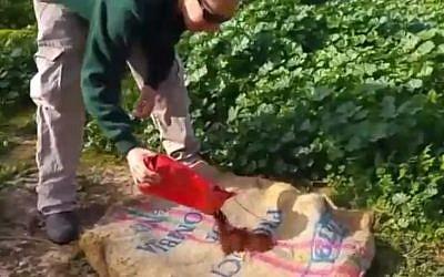 Yifat, gardien au Ramat Gan Safari, près de Tel Aviv, répand de la poudre de café sur un sac de jute pour les lions. (Capture d'écran)
