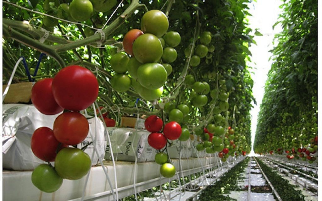 Une serre à Los Pinos, au Mexique, le plus grand projet de tomates sous serres du pays, développé avec l'irrigation au goutte-à-goutte Netafim et la technologie israélienne (Crédit : autorisation Netafim)