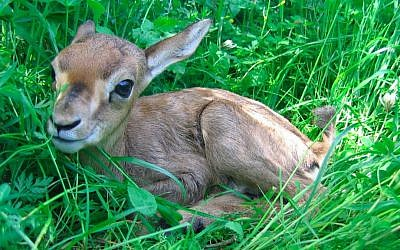 L'une des gazelles les plus jeunes vit maintenant dans la vallée des gazelles de Jérusalem, le parc animalier urbain de la ville (Amir Balaban)