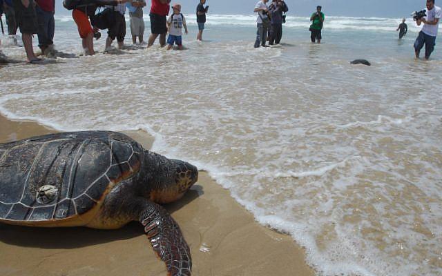 Illustration : Une tortue de mer sauvée retourne à la mer après avoir été libérée par les membres du centre national de sauvetage des tortues de mer (Crédit : Gili Yaari/Flash90)