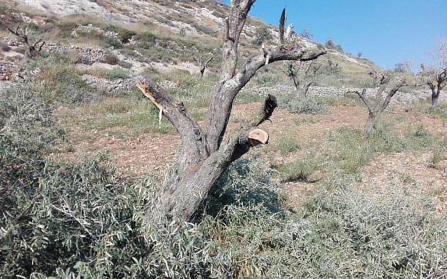 Un des 15 oliviers coupés dans le village d'Urif, au nord de la Cisjordanie, dans ce qui s'apparente à un crime de haine le 28 avril 2018. (Municipalité d'Urif)