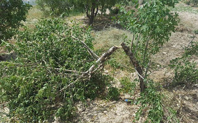 Un des huit oliviers abattus dans le village arabe d'Urif, en Cisjordanie, lors d'une attaque apparente du «Prix à payer», le 18 avril 2018 (Rabbis for Human Rights)
