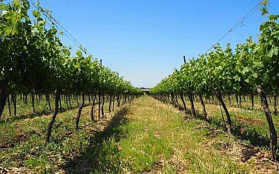Rangée de vignes du domaine Seror à Avnei Etan sur le plateau du Golan (Crédit: Pierre-Simon Assouline)
