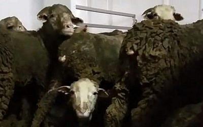 Image non datée de moutons destinés aux industries de la viande du Moyen-Orient en provenance d'Australie qui sont tellement entassés qu'ils sont obligés de rester debout, recouverts d'excréments, pendant plus de trois semaines de voyage par mer. (Capture d'écran : Hadashot news)