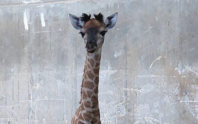 Le bébé girafe, nommée Toy, née au Zoo biblique de Jérusalem, le 12 mai 2018. (Yaara Forest Tamari)