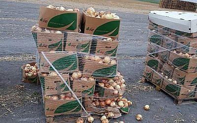 Des oignons provenant des champs du kibboutz Manara dans le nord d'Israël le 28 mai 2018, où 200 kilos d'oignons ont été volés. (Galil Golan)
