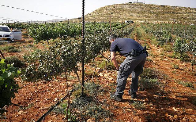 Un vigneron inspecte sa vigne à proximité de  Shiloh, en Cisjordanie, après un incendie présumé palestinien, lre 27 mai 2018 (Autorisation : Conseil de Yesha)