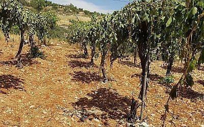 Un vignoble palestinien près de Hébron où quelque 400 pieds de vigne ont été arrachés lors d'un crime de haine le 16 mai 2018. (B'Tselem)