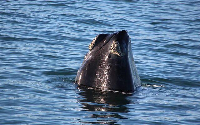 Une baleine bleue rare au large de la côte d'Eilat, le 29 mai 2018 (Crédit : Autorité israélienne de la nature et des parcs)