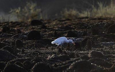 Un héron garde-bœufs dans un champ brûlé près du kibboutz Beeri, aux abords de la frontière entre Gaza et Israël, le 18 juin 2018. (Crédit : AFP/ MENAHEM KAHANA)