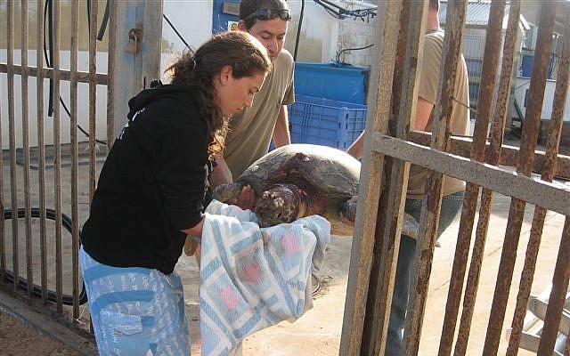 Des employés de l'Autorité de la Nature et des Parcs transportent une tortue qui a été agressée sur une plage en 2009. (Crédit : autorisation de l'Autorité de la Nature et des Parcs)