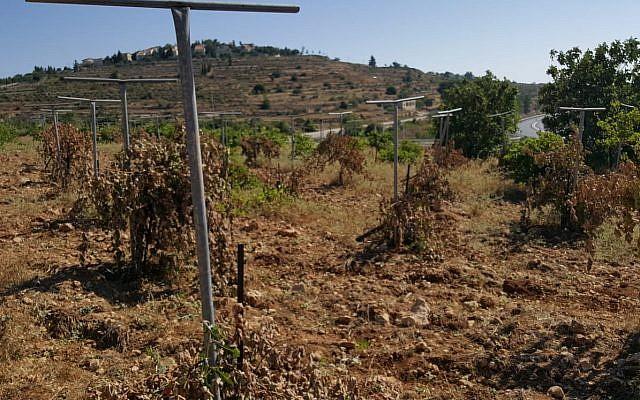 Des vignes coupées dans un crime de haine apparent dans le village palestinien d'al-Khader, le 5 juillet 2018. (Crédit : Islam Jabbar)