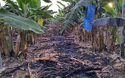 Un champ de bananes endommagé par un ballon incendiaire de la bande de Gaza dans la région d'Eshkol, dans le sud d'Israël, le 12 juillet 2018 (Crédit : Eshkol Security)
