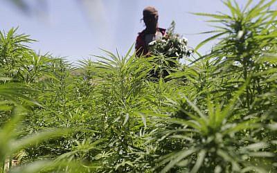 Un cultivateur dans sa plantation de cannabis dans le village de Yammouneh, dans la vallée Bekaa, au Liban, le 23 juillet 2018 (Crédit : . / AFP PHOTO / JOSEPH EID