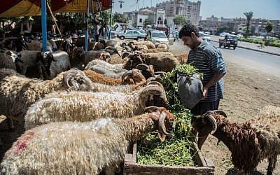 Un Egyptien nourrit ses moutons avant de les vendre dans un marché du Caire, à l'approche de l'Aid al-Adha, le16 août 2018. (Crédit : AFP / Khaled DESOUKI)