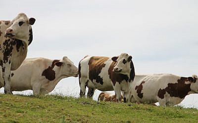 Un élevage de vaches en Normandie. (Crédit : Pixabay)