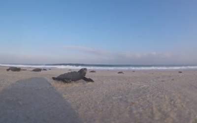 Des bébés tortue affluent vers la mer, en août 2018. (Crédit : Times of Israel)