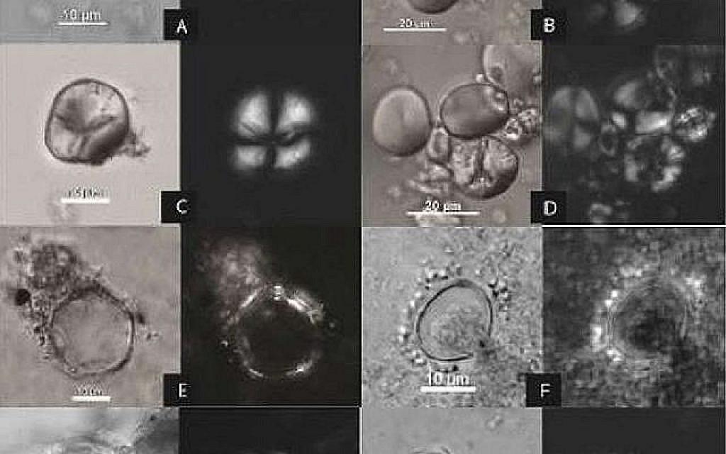 Des traces microscopiques d'amidon ancien dans la grotte de Raqefet à gauche) comparées aux références de la professeure  Li Liu et de sa recherche dans ses expérimentations sur la préparation de la bière (Crédit: Li Liu)