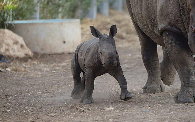 Un petit rhinocéros blanc du sud né au safari de Ramat Gan, le 16 septembre 2018 (Crédit :  Elad Hershkowitz/Ramat Gan Safari)