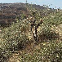 Un olivier détruit près du village de Burin dans le nord de la Cisjordanie. (Publié avec l'autorisation de Yesh Din)