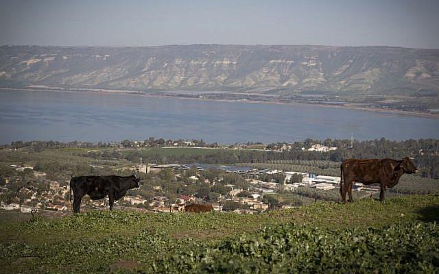 Des vaches dans un champ surplombant le lac de Tibériade, dans le nord d'Israël, le 18 février 2017 (Crédit : Nati Shohat/Flash90)