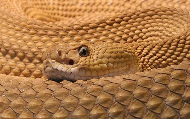Photo d'illustration d'une vipère (Crédit : CC-BY-H. Krisp, Wikimedia Commons)