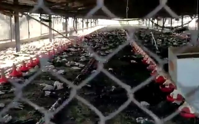 Capture d'écran d'une vidéo du 5 octobre 2018, après un présumé incendie criminel dans le moshav israélien du nord de Bethléem en Galilée, au cours duquel 50 000 poulets ont été brûlés vifs. (Capture d'écran: Twitter)