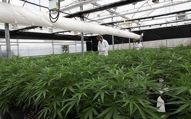 Une des serres de Breath de Life Pharma près de Beit Shemesh, où les producteurs attendent l'adoption d'une loi qui leur permettrait d'exporter du cannabis médical. (Autorisation)
