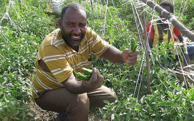 Un agriculteur local récolte des piments forts sur un site pilote de Tikkun Olam Ventures à Butajira, dans le sud de l'Éthiopie, en juin 2018. (Avec l'aimable autorisation de JDC)