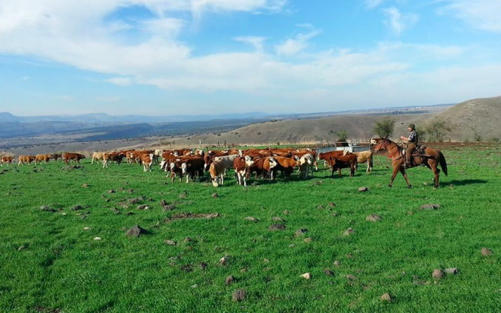 Rassemblement du troupeau sur le plateau du Golan (Crédit : avec l'aimable autorisation de Mire Golan)