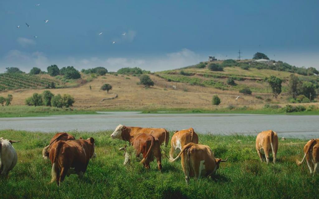 Bien que le plateau du Golan soit considéré comme la meilleure région d'Israël pour l'élevage du bétail, le climat local change et il ne fait plus aussi froid ou pluvieux qu'autrefois (Avec l'aimable autorisation de Mire Golan)