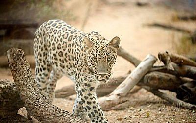 Le nouveau léopard perse du zoo de Ramat Gan, le 10 octobre 2018. (Crédit ! Ramat Gan Safari)