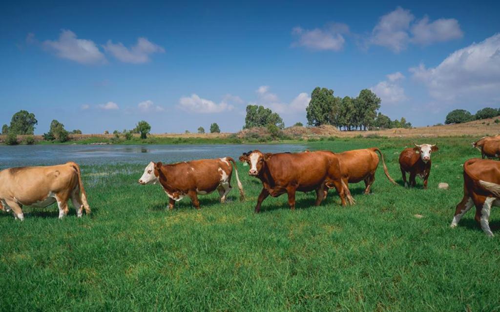 Le bétail du plateau du Golan, errant dans les verts pâturages de la région (Avec l'aimable autorisation de Mire Golan)