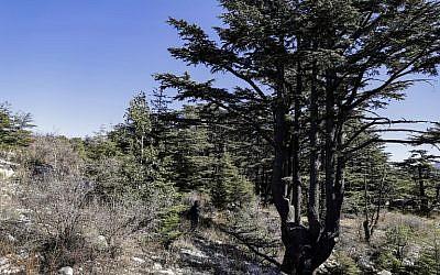 La forêt de cèdres du Liban de Tannourine , réserve naturelle dans les montagnes au nord-est de la capitale de Beyrouth, le 30 octobre 2018 (Crédit :JOSEPH EID / AFP)