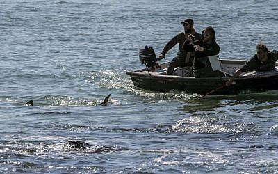 Des Israéliens photographient des requins en mer Méditerranée, au large de Hadera, au nord de Tel Aviv, le 23 janvier 2017. (Crédit : Jack Guez/AFP)