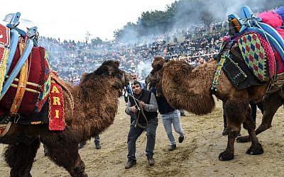Deux Trucs tentent de faire se battre deux chameaux dans l'arène de Selçuk, le 20 janvier 2019. (Crédit ; BULENT KILIC / AFP)