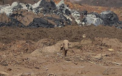 Un vache assise dans les décombres de  l'effondrement d'un barrage près de  Brumadinho, au Brésil, le 26 janvier 2019. (Crédit : AP/Andre Penner)