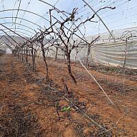 Près de 200 pieds de vignes arrachés dans l'implantation de Tomer, en Cisjordanie, le 20 janvier 2019. (Crédit : Twitter)