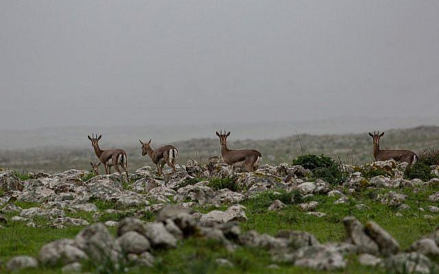 Des gazelles traversent un champ sur le plateau du Golan, le 14 janvier 2019 (Crédit : Maor Kinsbursky/Flash90)