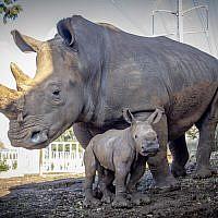 La rhinocéros Keren Peles et sa petit, au zoo de Ramat Gan, en janvier 2019. (Crédit ; Sagi Tabachnick/Ramat Gan Safari)