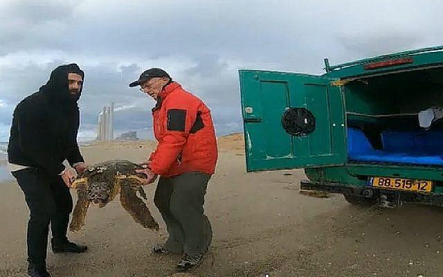 Capture d'écran du sauvetage d'une tortue de mer sur la côte israélienne, au mois de janvier 2019 (Capture d'écran : Hadashot news)