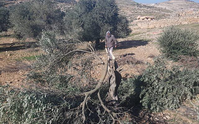 Un olivier abattu sur le site d'un crime de haine apparent dans le village de Tuwani, dans le sud de la Cisjordanie, le 8 janvier 2019 (Crédit : BTselem)