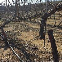 Les ceps de vigne abattus dans l'implantation de Kfar Etzion, le 17 février 2018 (Crédit : Yaron Rosental)