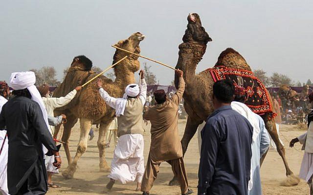 (FILES) Des propriétaires de chameaux séparent leurs animaux à l'aide de bâtons pendant un combat traditionnel lors d'un festival annuel à  Rajin Shah, dans le district  de Layyah, le 10 février 2019 (Crédit :  SS MIRZA / AFP)