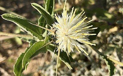 Centaurea pallescens ou bleuet du désert.