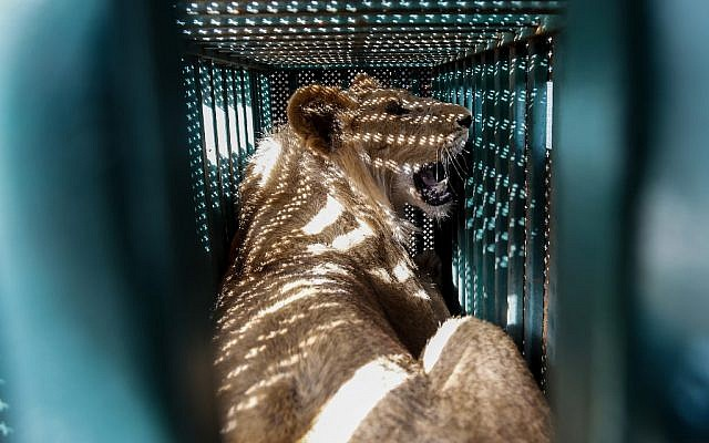 Une lionne placée sous sédatifs dans une cage avant son transfert du zoo de Rafah, à Gaza, vers la Jordanie, le 7 avril 2019. (Crédit : SAID KHATIB / AFP)