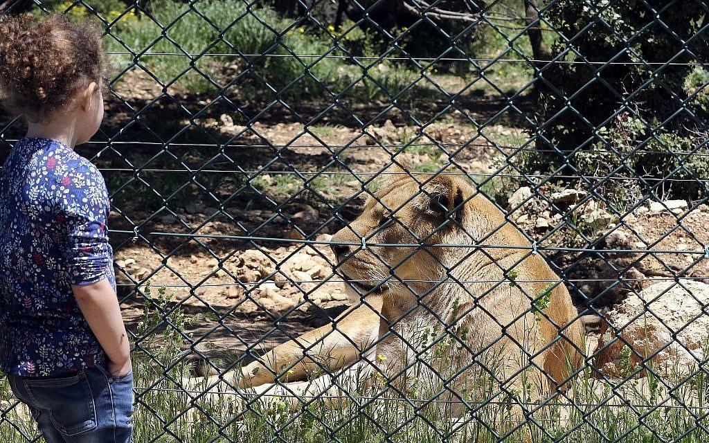 """Une enfant devant une lionne au sanctuaire """"Al Ma'wa for Nature and Wildlife"""", à Jerash, à une cinquantaine de kilomètres au nord d'Amman., le 10 avril 2019. (Crédit : Khalil MAZRAAWI / AFP)"""