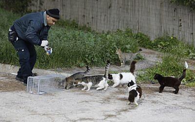 Ahmed Abu Sinenh,employé municipal de Jérusalem, tente d'attirer des chats sauvages dans une cage pour les faire stériliser, le 7 mars 2019. (Crédit : MENAHEM KAHANA / AFP)